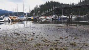 Erhalten näher an Kanada-Gänsen auf dem Ufer stock video