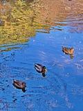 Erhalten Sie Ihre Enten in einer Reihe Lizenzfreie Stockfotografie
