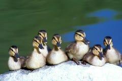 Erhalten Sie Ihre Enten in einer Reihe stockfotos