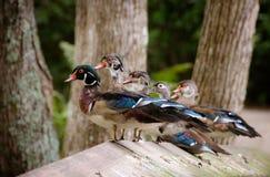 Erhalten Sie Ihre Enten in einer Reihe Stockbilder