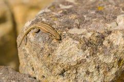 Erhard`s Wall Lizard at Perperikon ruins Stock Photos