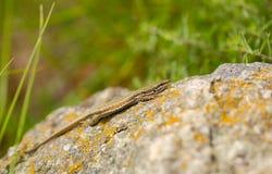 Erhard`s Wall Lizard at Perperikon ruins Royalty Free Stock Photos