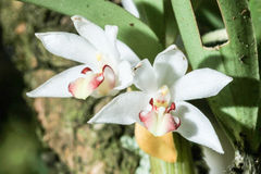 Eria carinata från rainforest Arkivfoton