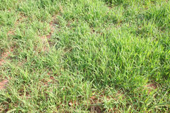 Eriantha del Digitaria o hierba del pangola Imagenes de archivo