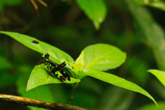 Erianthus serratus. Conjoined Spot Monkey-grasshopper, Erianthus serratus  in green leaf nature or in the garden Royalty Free Stock Image