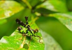Erianthus serratus. Conjoined Spot Monkey-grasshopper, Erianthus serratus  in green leaf nature or in the garden Stock Image