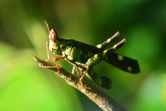 Erianthus serratus The Monkey grasshoppers. ** note select focus with shallow depth of field Stock Photo