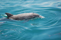Eric the Dolphin. One of many Dolphins that can be seen all year round in the waters around Gibraltar stock image