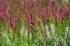 Many Erica flowers. In purple and white royalty free stock photography