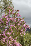 Erica australis in Ria Formosa natural park Algarve. Stock Image