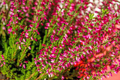Erica. Autumnal decoration plant with bloom stock image