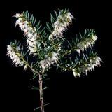 Erica bianca Immagine Stock