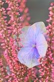 Erica calluna and hydrangea blossom Stock Images