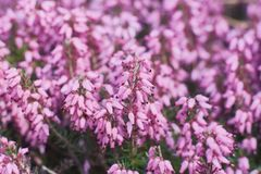 Erica Calluna vulgaris pink royalty free stock photos