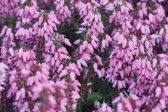 Erica Calluna vulgaris pink royalty free stock images