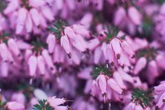 Erica Calluna vulgaris pink royalty free stock photography