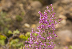Erica canescens fynbos flower. Erica flowers flowering western cape south africa royalty free stock image