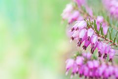 Erica carnea Royalty Free Stock Images