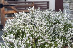 Erica Carnea, Flowering Subshrub Plant Also Known As Springwood White, Winter Heath, Snow Heath, And Heather Stock Images