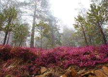 Erica Carnea gemensam vinterhed i vintergrön skog, i dimma arkivbild