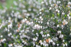 Erica carnea, macro photo Stock Photo