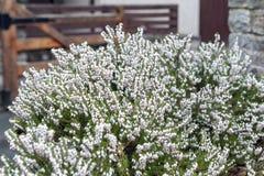Erica carnea som också som blommar subshrubväxten är bekant som Springwood vit, vinterheden, snöheden och ljung arkivbilder