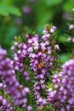 Erica carnea 'Springwood Pink'