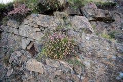 Erica che cresce fra le rocce dal bordo della strada Immagine Stock