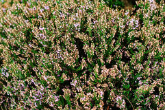 Erica cinerea. Detail of flowers in blossom stock photos