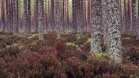 Erica di Cairngorms che soffoca il pavimento della foresta immagine stock