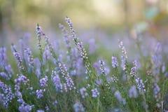 Erica di fioritura Immagine Stock