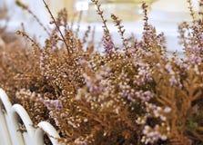 Erica di fioritura asciutta in un vaso fotografie stock