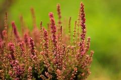 Erica di fioritura isolata su fondo verde Fotografia Stock