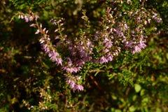Erica di fioritura in un'abetaia di estate Fotografia Stock Libera da Diritti