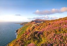 Erica in fioritura Isola di Man Moorlands Fotografie Stock Libere da Diritti