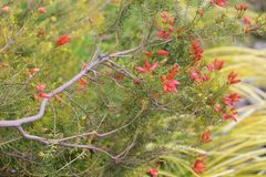 Erica fire heath. / Erica cerinthoides / Red hairy heath royalty free stock image