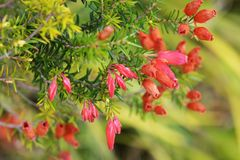 Erica fire heath. / Erica cerinthoides / Red hairy heath royalty free stock images