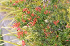 Erica fire heath. / Erica cerinthoides / Red hairy heath stock images
