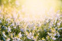 Erica Flower Field sommarsäsong, Bokeh effekt Royaltyfri Foto