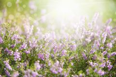 Erica Flower Field, stagione estiva Immagini Stock