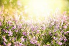 Erica Flower Field, Summer Season, Bokeh Royalty Free Stock Photography