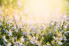 Erica Flower Field, Summer Season, Bokeh Effect. Erica Flower Field Or Meadow. Summer Or Spring Season. Sunny Light For Relaxing And Peaceful Atmosphere royalty free stock photo