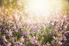Erica Flower Field, Summer Season, Ruby Retro Filter Stock Photos