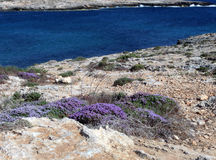 Erica flower on the LAMPEDUSA island in Italy. With high cliffs and clean blue sea stock images