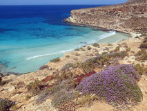 Erica flower on the Lampedusa island in Italy. With high cliffs and clean blue sea royalty free stock images