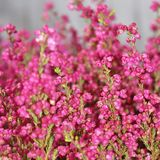 Erica gracilis. Beautiful blooming cerise Erica gracilis royalty free stock photography