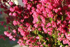 Erica gracilis. Beautiful blooming cerise Erica gracilis royalty free stock images