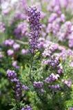 Erica lasu carnea ochraniający kwiat w kwiacie zdjęcia royalty free