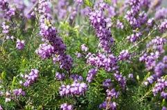 Erica lasu carnea ochraniający kwiat w kwiacie zdjęcia stock