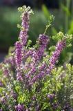 Erica lasu carnea ochraniający kwiat w kwiacie zdjęcie royalty free